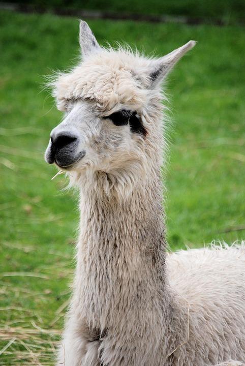 Free photo: Llama, Mammal, Fluffy, Llama Glama - Free Image on ...