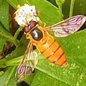 Orange striped hoverfly