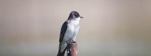 Eastern Kingbird (Tyrannus tyrannus), , Park de la Frayere, Boucherville, 2017/06/10