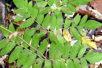 Photo: Royal fern (Osmunda regalis)