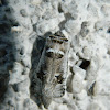 Parahypopta moth
