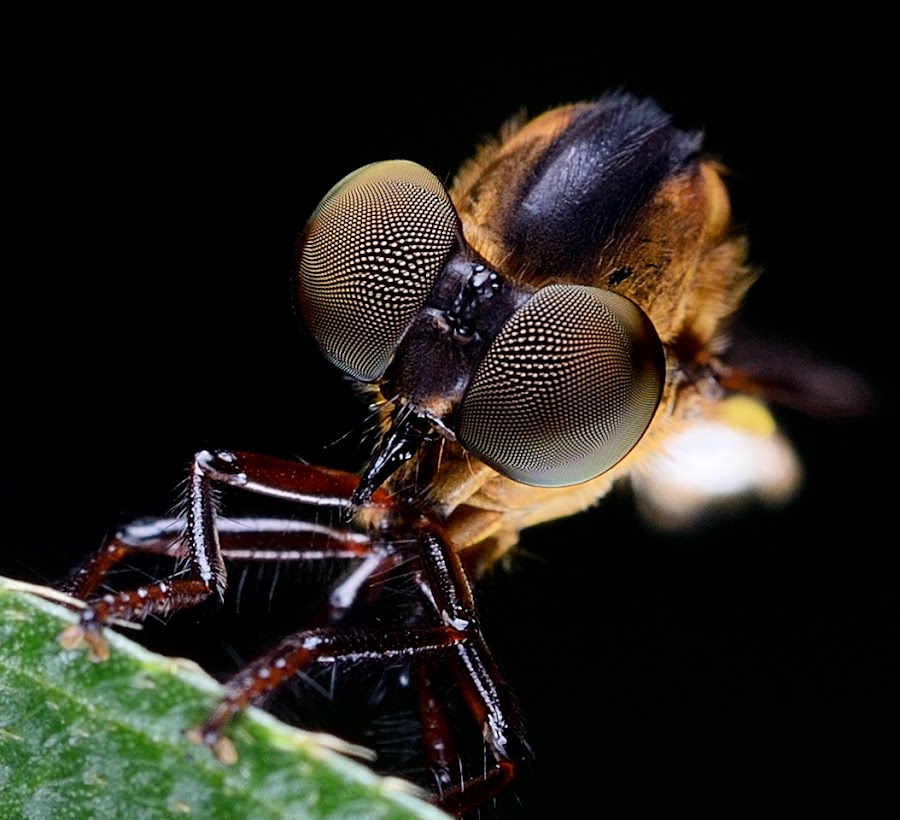 Robberfly @ Asilidae by Herman  Noh ( Kajong ) - Animals Insects & Spiders
