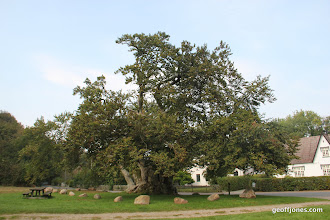 Photo: Denmarks oldest tree