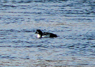 Photo: Barrow's goldeneye on the Madison River just outside Yellowstone National Park