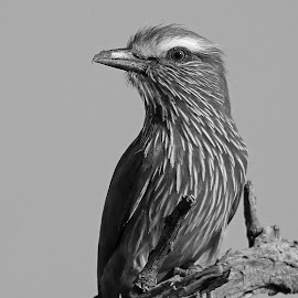 Purple Roller by Anthony Goldman - Black & White Animals ( wiild, south africa., bird, purple, londolozi, b & w, roller, wildlife,  )