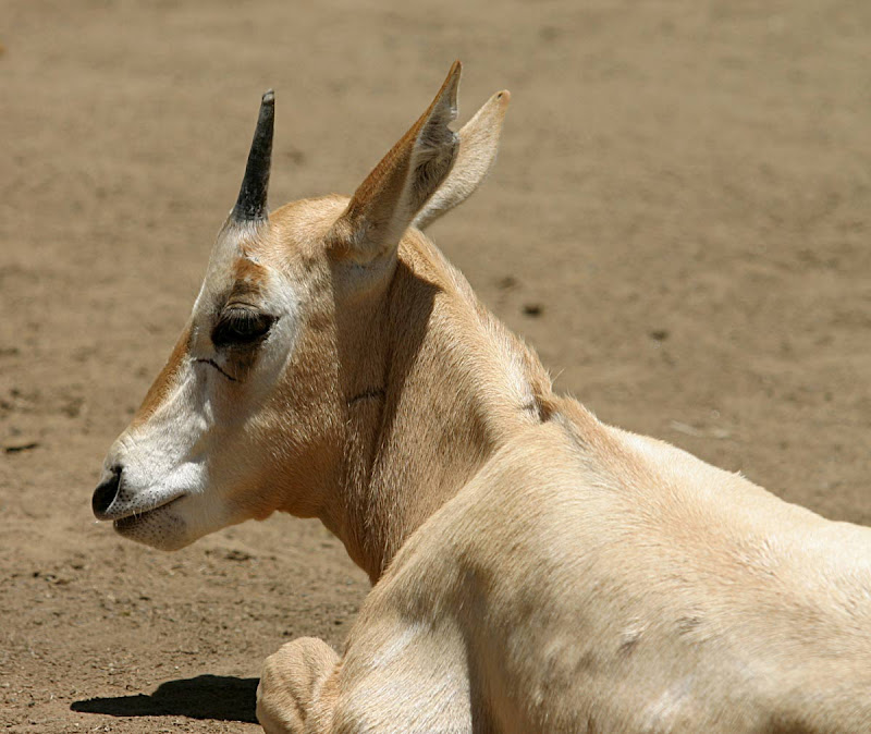 A young scimitar oryx at the San Diego Zoo. It has two horns, but by viewing it from the side you can see how the legend of the unicorn was born.