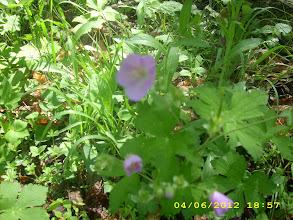 Photo: Wild Geranium