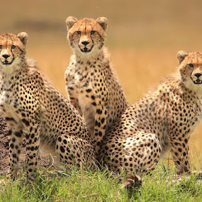 Trouble in Triplicate! by Dave Roberts - Animals Lions, Tigers & Big Cats ( cheetah, big cats, cubs,  )