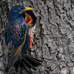 Male european starling feeding his babies (sturnus vulgaris) by Joseph Balson - Animals Birds ( bird, baby, animal, bird feeding, european starling )