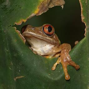 Hello by David Knox-Whitehead - Animals Amphibians ( hello, frog, slimy, leaf, eye )