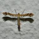 Crombrugghia Plume moth