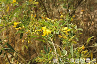 Photo: 拍攝地點: 春陽-民俗植物園 拍攝植物: 樹豆 拍攝日期:2012_10_29_FY
