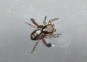 Photo: Saitis barbipes  ARACHNIDA > Araneae > Salticidae