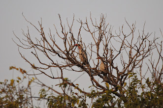 Photo: red-billed hornbill