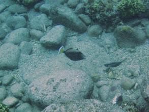Photo: Sufflamen chrysopterus (Flagtail Triggerfish), Naigani Island, Fiji