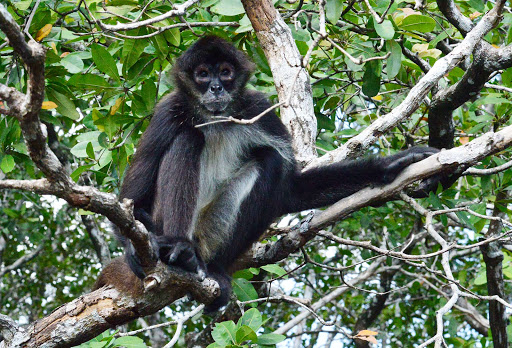 Belize-spider-monkey.jpg - A spider monkey in the rainforest of Belize.