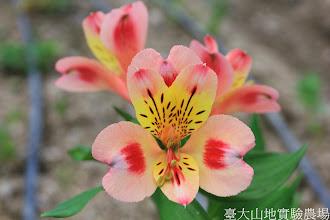 Photo: 拍攝地點: 梅峰-一平臺 拍攝植物: 百合水仙 拍攝日期: 2014_09_27_FY