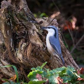 Spettmeis by Tommy Johansen - Animals Birds