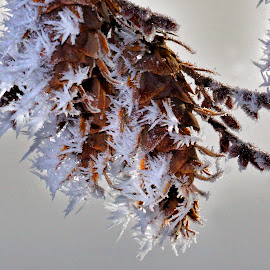 Frosted Fir Cones - 0941 by Twin Wranglers Baker - Nature Up Close Trees & Bushes (  )