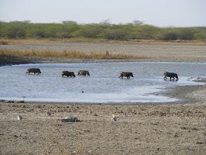 Photo: Wild pig