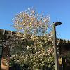Chinese Magnolia