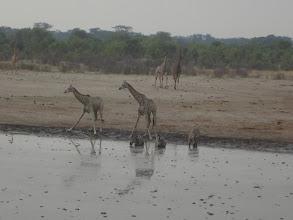Photo: More giraffes coming