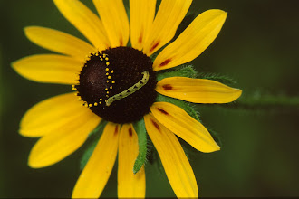 Photo: 48 Insect larva on Black-eyed Susan