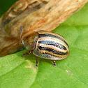 Striped Tortoise Beetle