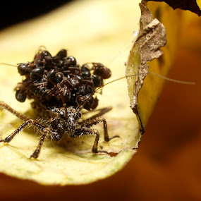 Assassin bug by Azira Ahmad - Animals Insects & Spiders ( olympus close up bug advertisement female assassin bug )