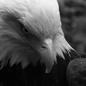 the bald eagle by Jon Radtke - Black & White Animals ( the bald eagle )