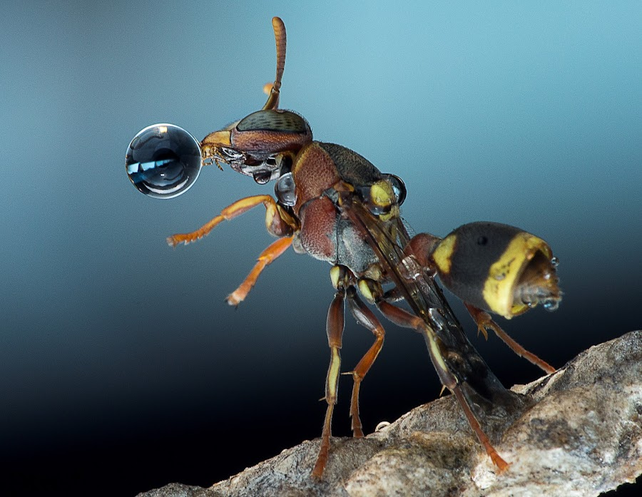 Wasp 150904A by Carrot Lim - Animals Insects & Spiders ( colour, water drops, macro, wasp, insect )