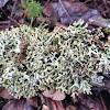 Forking bone lichen