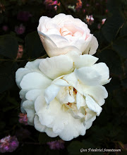 Photo: White old-fashioned roses.