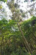 Photo: 上山時走的路段有桂竹林風景優美,下山這段有柳杉林,一樣都是筆直高聳,兩種不同的美