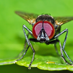 What Are You Looking At???!!!??? by Steve Hatton - Animals Insects & Spiders ( small fly, fly close up, fly, insect, insects )