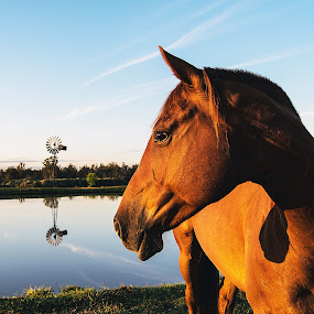 Good Morning by David Davies - Animals Horses ( australia, horse, sunrise, handsome, portrait )