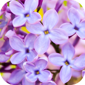 Lilac Wallpapers Android APK Download Free By Leafgreen