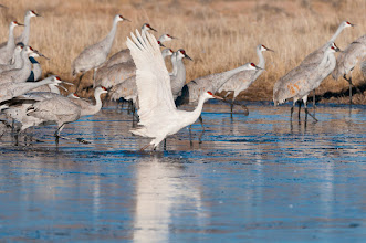 Photo: Albino sandhill crane; Bosque del Apache