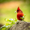 Red Bird-7043-2.jpg