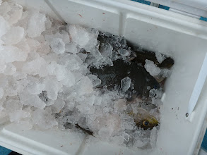 Photo: 釣果です。 ウチダさん、クーラー満タン釣りました。 半分は写真撮る前に会社の方に差し上げちゃって・・・。