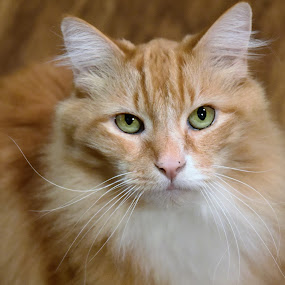 Chai  by Tesla Levine - Animals - Cats Portraits