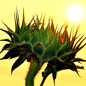 by Keple MN - Nature Up Close Other plants ( haze, up close, sunflowers, plants, heat, sun )