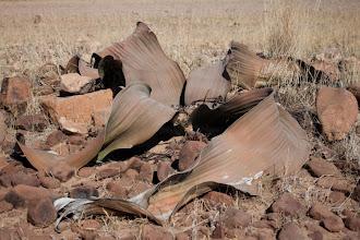 Photo: Welwitschia mirabilis / Welwitschie podivná
