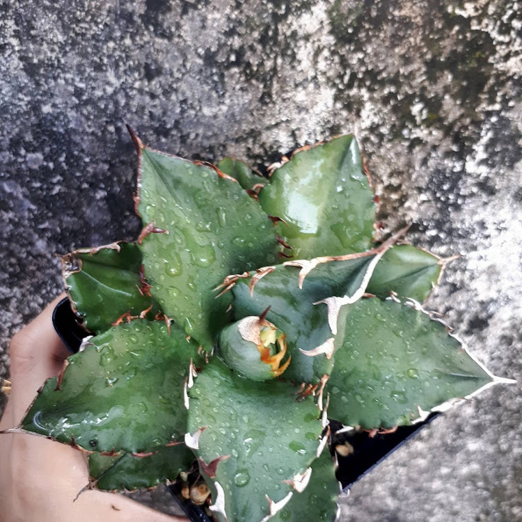 仁王冠 Agave Titanota by AquaticsForevers Enterprise