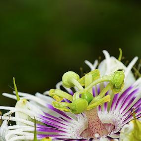 passiflora ....wild flower by Megarianti Megarianti - Nature Up Close Flowers - 2011-2013