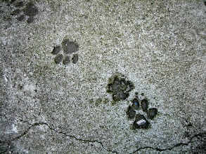 Photo: Concrete impressions of normal and polydactyl cats paws
