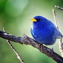 Campainha-azul (Blue Finch)