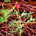 Cypressvine Morning Glory