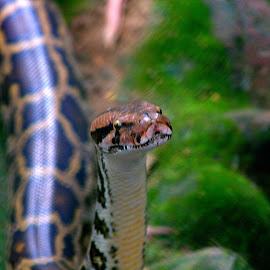 Snake World - 1 by Vijayanand Kandasamy - Animals Reptiles ( reptiles, snake, snake face, reptile, snakes,  )