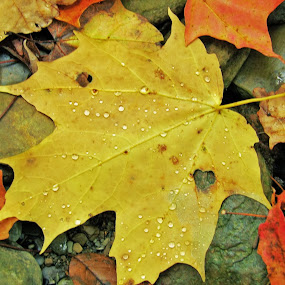 Maple Leaf by Danielle Calkins - Nature Up Close Leaves & Grasses (  )